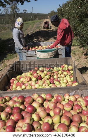 ELGIN VALLEY WESTERN CAPE SOUTH AFRICA - 15 APRIL 2016 -  Harvesting Pink Lady apples for the European market in the Elgin Valley Western Cape South Africa.