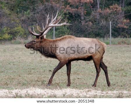 Elk, Bugle, Deer, Antlers, Herd, Caribou, moose, Bull, Cow, Side, Profile - stock photo