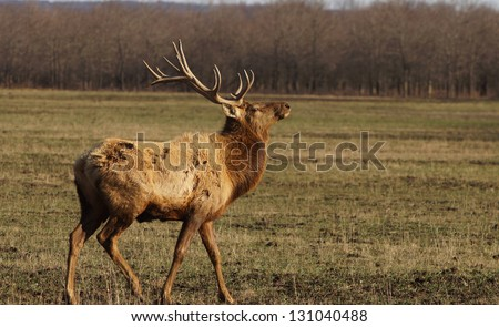 Elk bull picking up scent and walking away from photographer.