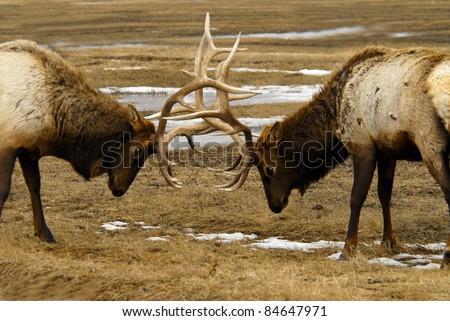 Elk Butting Heads - stock photo
