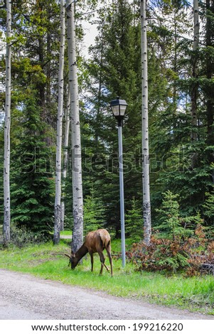 Elk  (Cervus canadensis)  - stock photo
