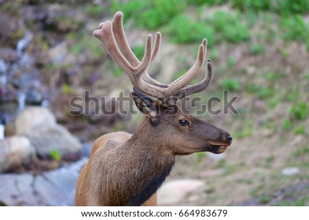 Elk closeup velvet antlers stock photo 664983679 shutterstock elk closeup with velvet antlers publicscrutiny Image collections