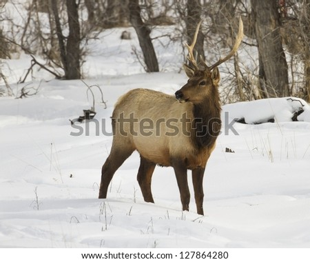 Elk found in Grand Teton National Park ear Kelley and Jackson Hole Wyoming. - stock photo