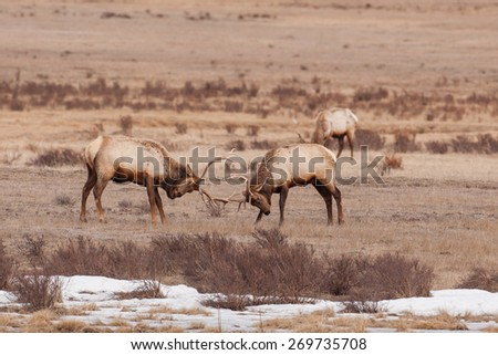 Elk found sparing in Grand Teton National Park ear Kelley and Jackson Hole Wyoming. - stock photo