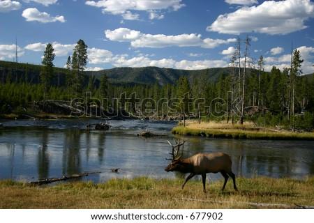 elk in Yellowstone - stock photo