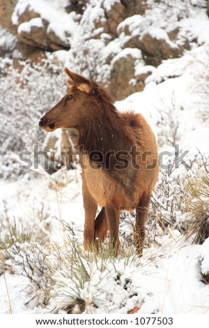 Elk near Kittredge, Colorado - stock photo