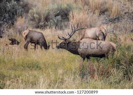 Elk near the Gardiner River in Yellowstone National Park