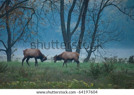 Elk roaming the Boxley Valley in the middle of the Ozark National Forest during the fall season. - stock photo