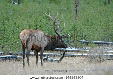 Elk, Rocky Mountains, USA - stock photo