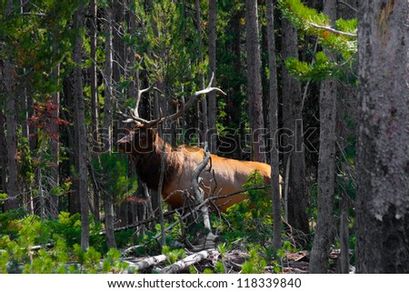 Elk shows up in Yellowstone National Park - stock photo
