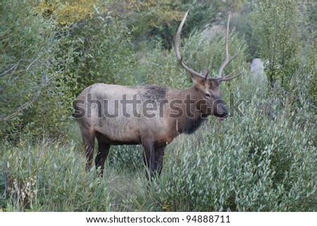 Elk Standing in the Grass