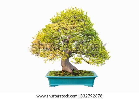 elm bonsai  in autumn isolated on white background - stock photo