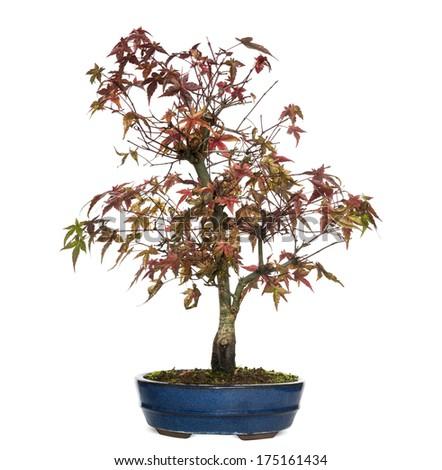Elm bonsai tree, Ulmus, isolated on white - stock photo