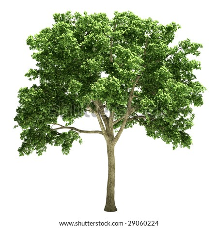 elm tree isolated - stock photo