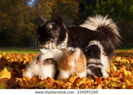 Elo dog mother breastfeed her cute puppies - stock photo
