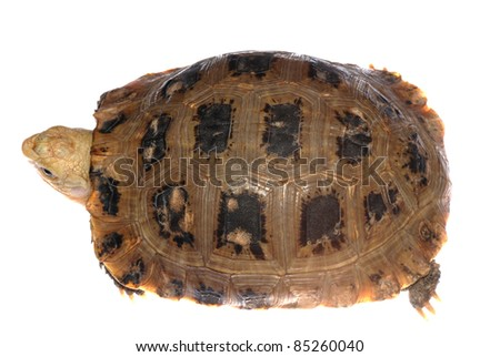elongata Elongated tortoise isolated in white - stock photo