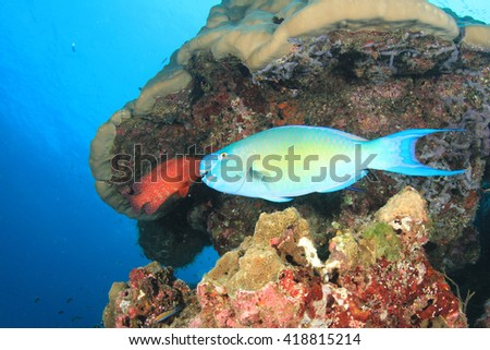 Ember Parrotfish Wrasse fish and coral reef in sea
