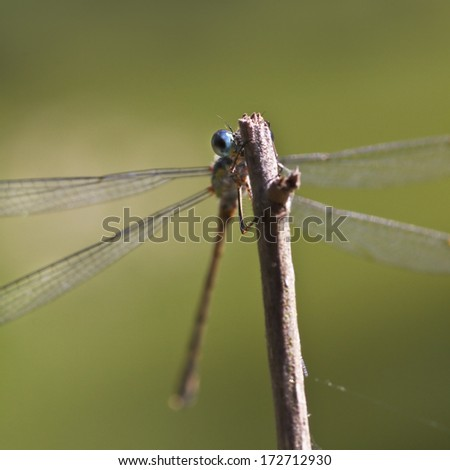 Emerald damselfly on a branch peekaboo - stock photo