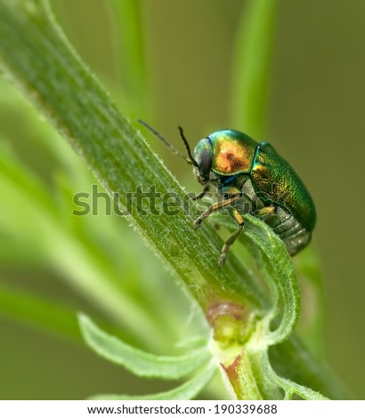 emerald green beetle in the grass