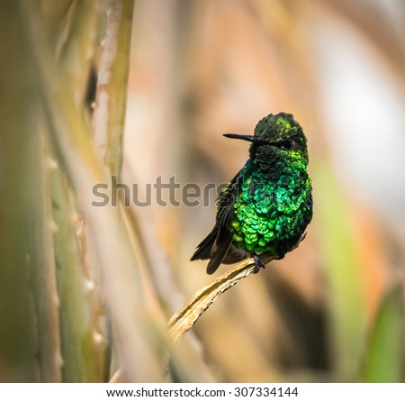 Emerald Green Humming bird Views around Curacao a small Caribbean Island in the ABC islands - stock photo