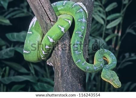 Emerald tree boa coiled in tree - stock photo