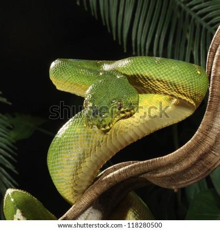 Emerald Tree Boa in jungle - stock photo