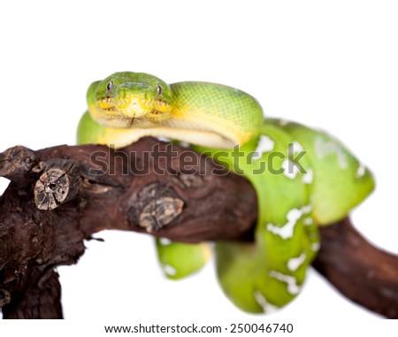Emerald tree boa isolated on white background - stock photo