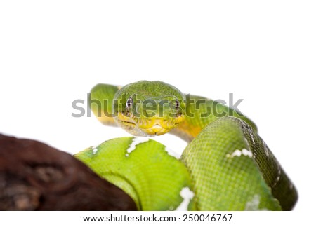 Emerald tree boa isolated on white background