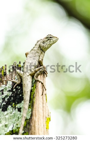 emma gray's forest lizard also know as the forest crested lizard, is an agamid lizard and eat insect for food ,