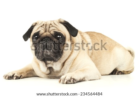 emotional Pug Close-up - stock photo