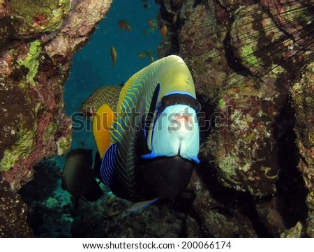 Emperor angelfish at a cleaning station - stock photo