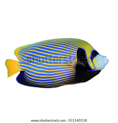 Emperor Angelfish isolated. Tropical fish on white background