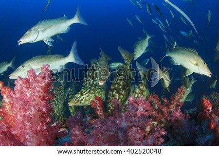 Emperor, Grouper and Snapper fish hunting on coral reef - stock photo