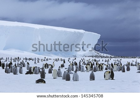 Emperor Penguin (Aptenodytes forsteri) colony and iceberg - stock photo