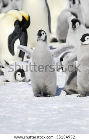 Emperor penguin chick (Aptenodytes forsteri) on the ice in the Weddell Sea, Antarctica - stock photo