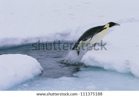 Emperor penguin jumping out of water, Antarctic