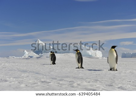 Emperor Penguin on the snow