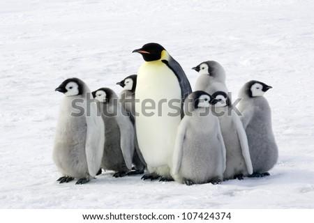 Emperor penguin with children, the Antarctic. - stock photo