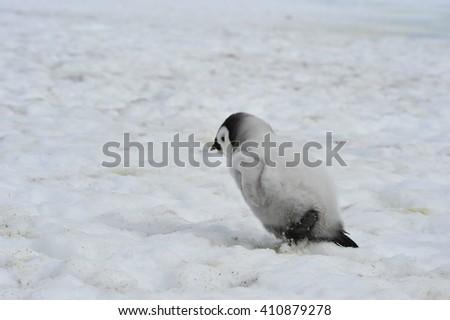 Emperor Penguins  chicks - stock photo