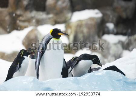 Emperor penguins on rocks near sea - stock photo