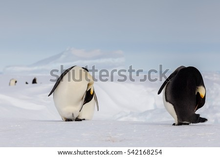 Emperor penguins performing funny choreography