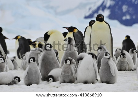 Emperor Penguins with chick - stock photo