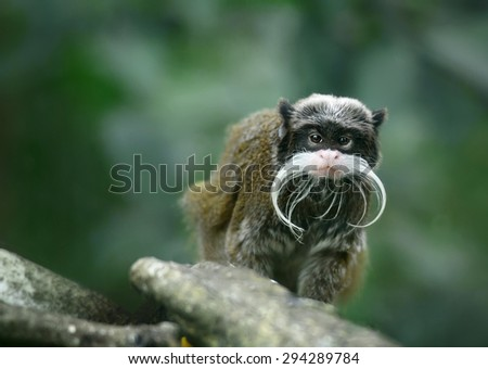 Emperor tamarin monkey with funny mustache - stock photo