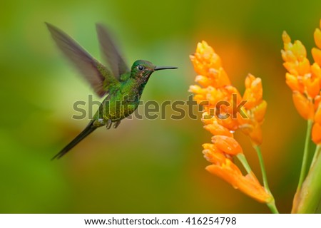 Empress brilliant hummingbird in flight. Green hummingbird with yellow flower. Beautiful hummingbird from Colombia. Hummingbird in the nature tropic forest. Hummingbird flying next nice yellow bloom. - stock photo