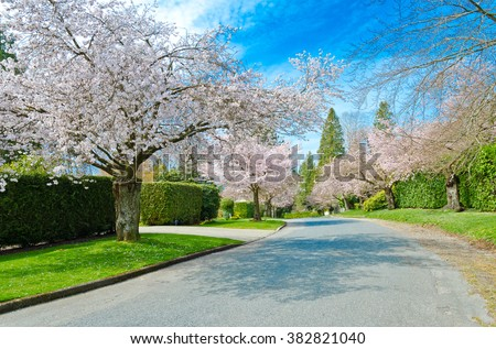 Empty street at the cherry blossom spring time. Vancouver. Canada.