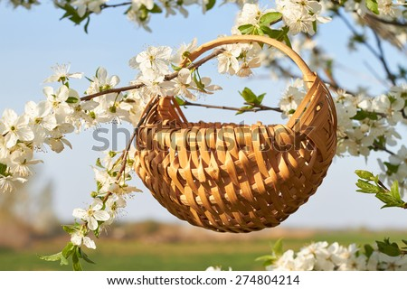 Empty wicker basket in a blooming whit  cherry tree in spring - stock photo