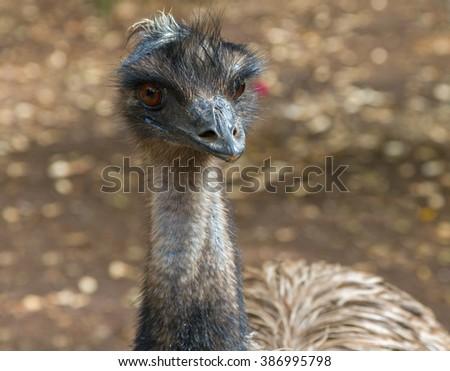 Emu australian bird with a long neck. - stock photo