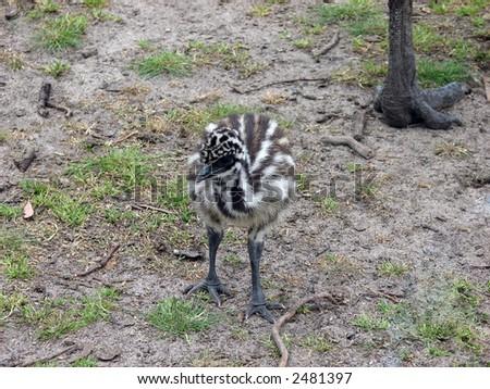 emu chick - stock photo