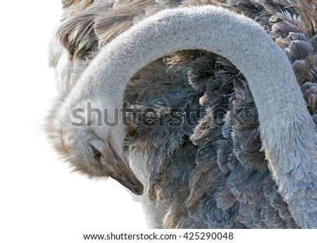 Emu isolated on white background - stock photo
