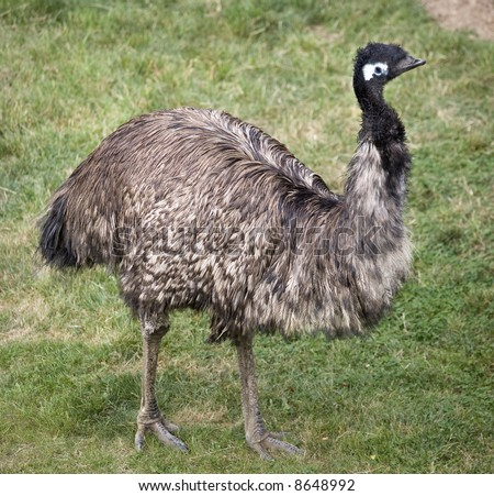 Emu Standing Up  Picture of the entire emu - stock photo